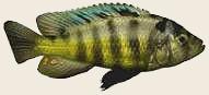 Foraging Evolution in African Cichlids